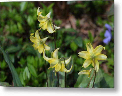 Yellow Metal Print featuring the photograph Pagoda Flowers by Terese Loeb Kreuzer