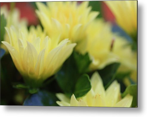 Galena Metal Print featuring the photograph Pale Soft And Yellow Flower Abstract At Sunset by Joni Eskridge