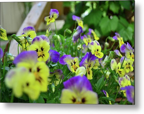 Pansy Metal Print featuring the photograph Pansy Bed by Larry Bishop