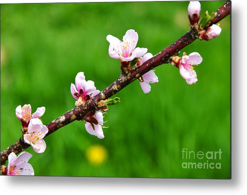 Peach Tree Blossoms Metal Print featuring the photograph Peach Tree Blossoms by Thomas R Fletcher