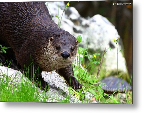 Otter Metal Print featuring the photograph Peering Otter by Barbara Bowen