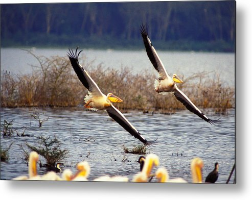 Birds Metal Print featuring the photograph Pelicans In Flight by Carl Purcell