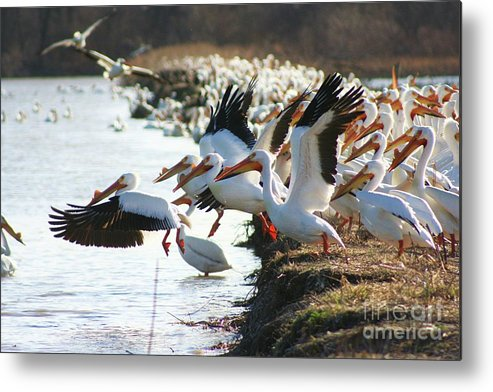 Pelicans Metal Print featuring the photograph Pelicans Leaving by Shari Morehead