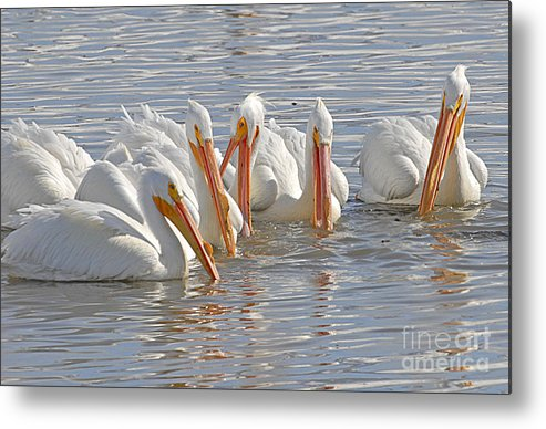 Bird Metal Print featuring the photograph Pelicans On The Prowl by Dennis Hammer