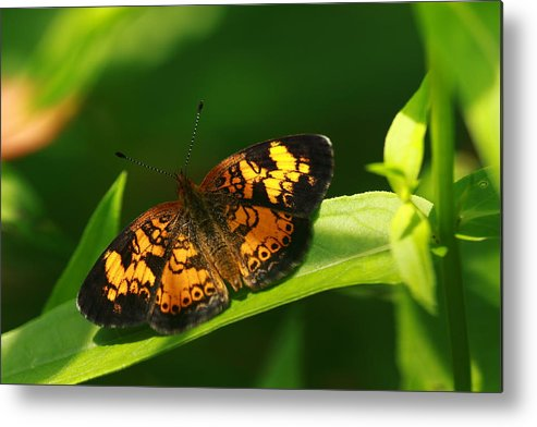 Butterfly Metal Print featuring the photograph Peral Cresent by Paul Slebodnick