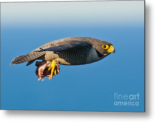 Peregrine Falcon Metal Print featuring the photograph Peregrine Falcon 2 by Michael Nau