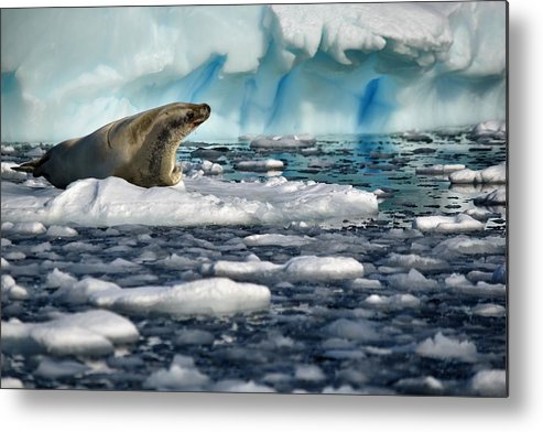 Seal Metal Print featuring the photograph Perhaps by Chris Hanlon