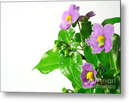 Closeup Metal Print featuring the photograph Persian Violets by Gaspar Avila