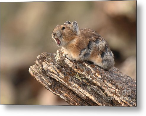 Pika Metal Print featuring the photograph Pika Barking From Rocktop Perch by Max Allen