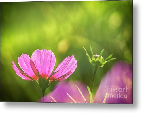Abstract Metal Print featuring the photograph Pink Cosmos by Veikko Suikkanen