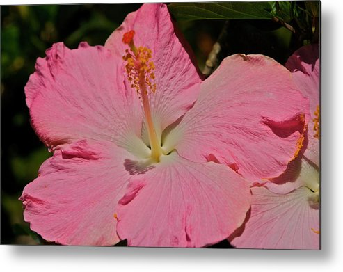 Pink Metal Print featuring the photograph pink hibiscus I by Eddie Freeman