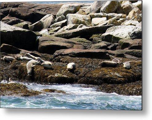 Seals Metal Print featuring the photograph Playful Seals by Bonnie Brann