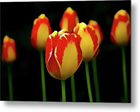 Horizons Metal Print featuring the photograph Poetically Tulip by Phil Koch