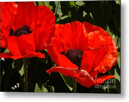 Red Metal Print featuring the photograph Poppys by Greg Payne