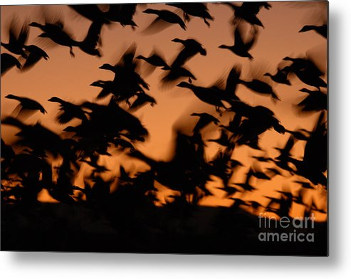 Geese Metal Print featuring the photograph Pre-dawn Flight Of Snow Geese Flock by Max Allen