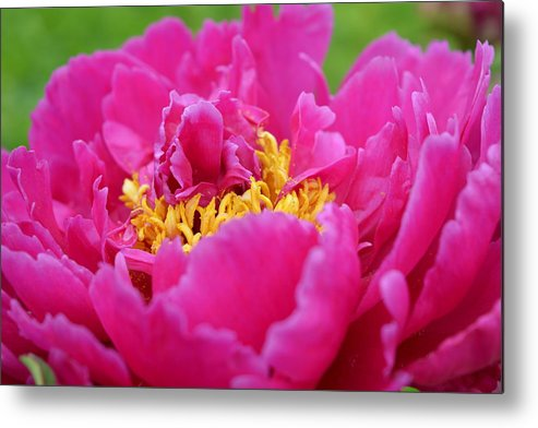 Flowers Metal Print featuring the photograph Pretty Peony by Rebecca Mento
