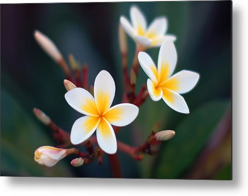 White Metal Print featuring the photograph Pretty Plumerias by Mandy Wiltse