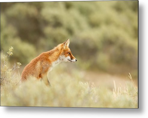 Red Fox Metal Print featuring the photograph Princess Of The Hill - Red Fox Sitting On A Dune by Roeselien Raimond