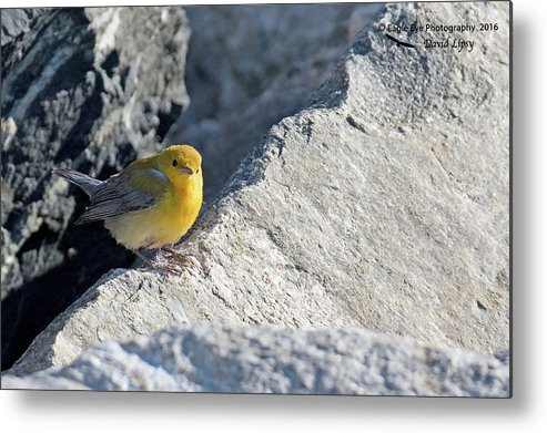 Birds Metal Print featuring the photograph Prothonotary Warbler by David Lipsy