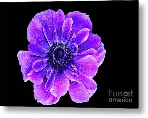 Purple Flower Metal Print featuring the photograph Purple Anemone Flower by Mariola Bitner