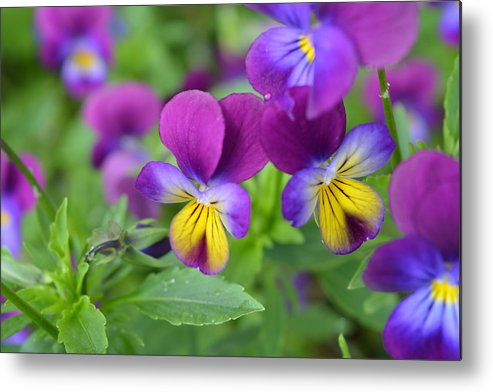 Flowers Metal Print featuring the photograph Purple Blue Yellow by Rebecca Mento