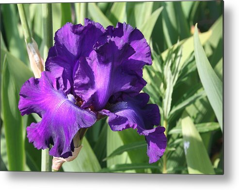Purple Metal Print featuring the photograph Purple Iris by Mary Gaines