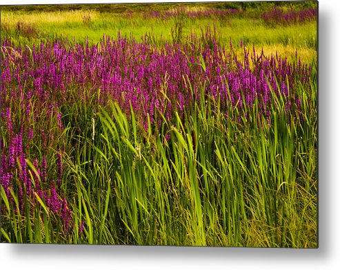 Wildflowers Metal Print featuring the photograph Purple Loosetrife And Cat-tails by Irwin Barrett