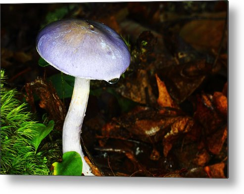 Russula Cyanoxantha Metal Print featuring the photograph Purple Mushroom Russula Cyanoxantha by Andrew Pacheco