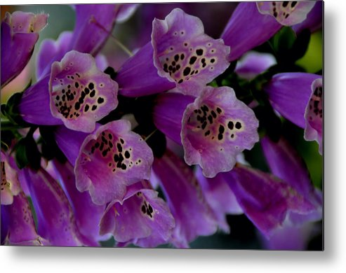 Purple Metal Print featuring the photograph Purple Silk by Lyle Huisken