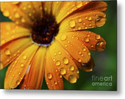 Orange Metal Print featuring the photograph Rainy Day Daisy by Thomas R Fletcher