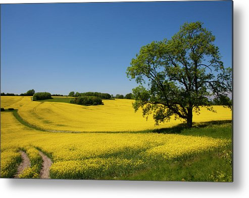 Agriculture Metal Print featuring the photograph Rapeseed Field,west Sussex, England by Philip Enticknap