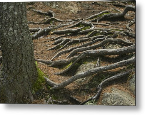 Tree Metal Print featuring the photograph Reaching by Jeff Porter