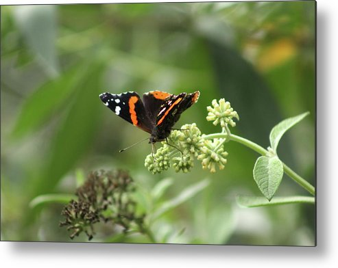 Red Admiral Metal Print featuring the photograph Red Admiral by Nadia Asfar
