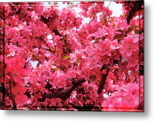Hovind Metal Print featuring the photograph Red Apple Blossoms 6 by Scott Hovind
