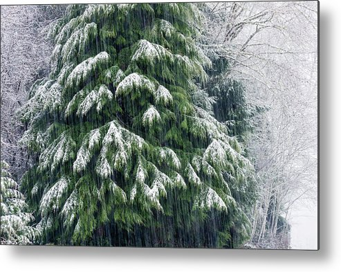 Astoria Metal Print featuring the photograph Red Cedar And Snow by Robert Potts