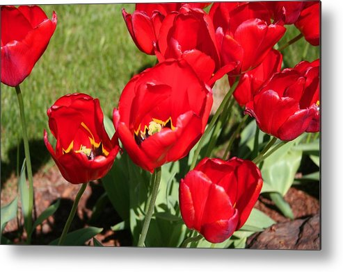 Tulips Metal Print featuring the photograph Red Delicious Tulips by Mary Gaines