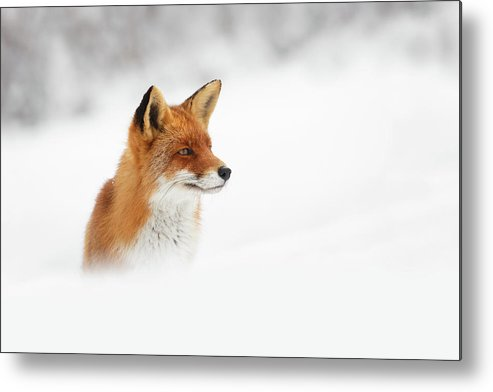 Fox Metal Print featuring the photograph Red Fox Out Of The Blue by Roeselien Raimond