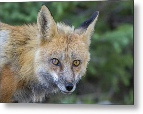 Fox Metal Print featuring the photograph Red Fox Vixen Closeup by Tony Hake