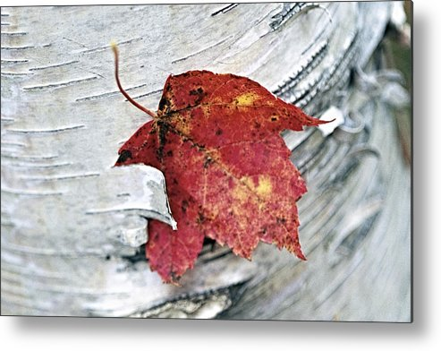 Abstract Metal Print featuring the photograph Red Leaf by George Oze