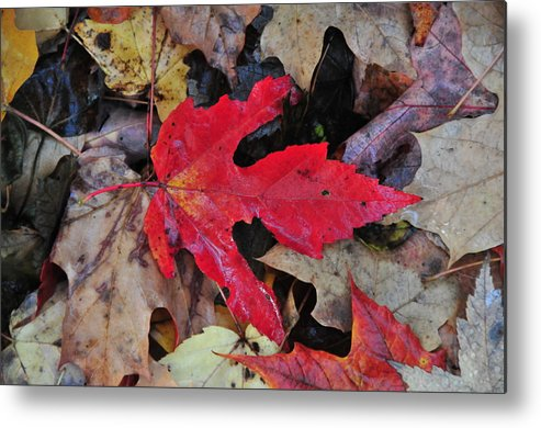 Leaf Metal Print featuring the photograph Red Leaf by Paul Mencke