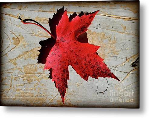 Maple Leaf Metal Print featuring the photograph Red Maple Leaf With Burnt Edge by Karen Adams