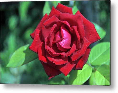 Rose Metal Print featuring the photograph Red Rose by Bill Perry