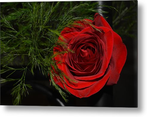 Rode Metal Print featuring the photograph Red Rose With Garnish And Black Velvet by Reva Steenbergen