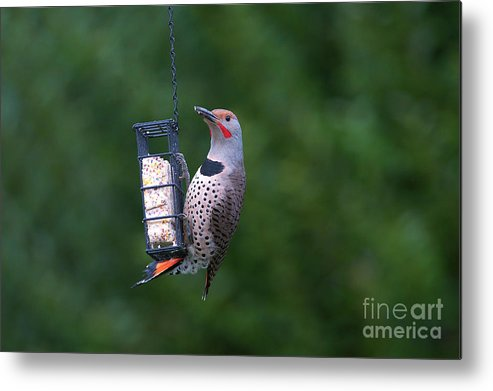 Red-shafted Northern Flicker On Suet Metal Print featuring the photograph Red-shafted Northern Flicker On Suet by Sharon Talson