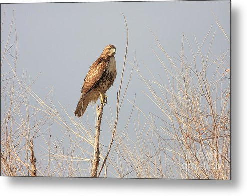 Red Tail Hawk Metal Print featuring the photograph Red Tailed Hawk 20100101-5 by Wingsdomain Art and Photography