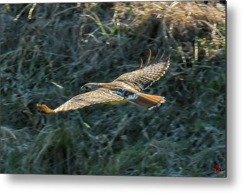 Red Tailed Hawk Metal Print featuring the photograph Red Tailed Hawk In Flight by Ronald Raymond