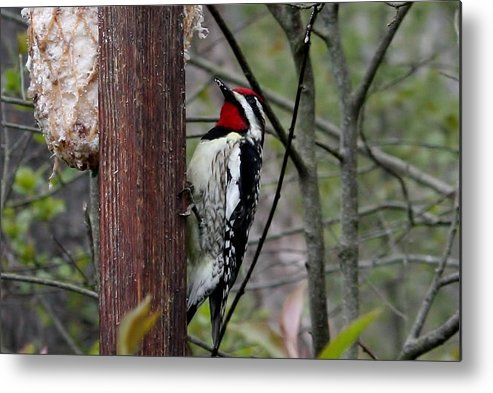 Woodpecker Metal Print featuring the photograph Red Throat by Bonnie Brann
