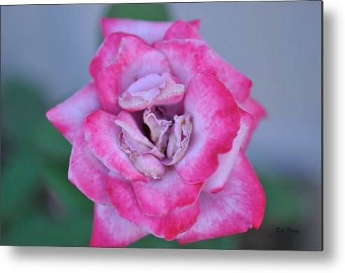 Metal Print featuring the photograph Red Tipped Pink Rose by Bill Perry