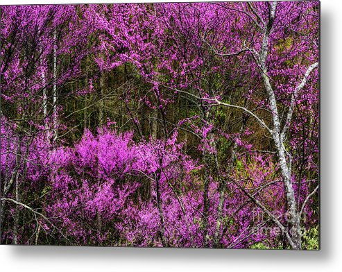 Spring Metal Print featuring the photograph Redbud In The Woods by Thomas R Fletcher