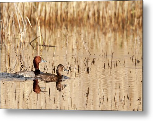 Redhead Duck Metal Print featuring the photograph Redhead  Aythya Americana by Michael Trewet
